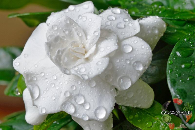 цветок гардении после орошения