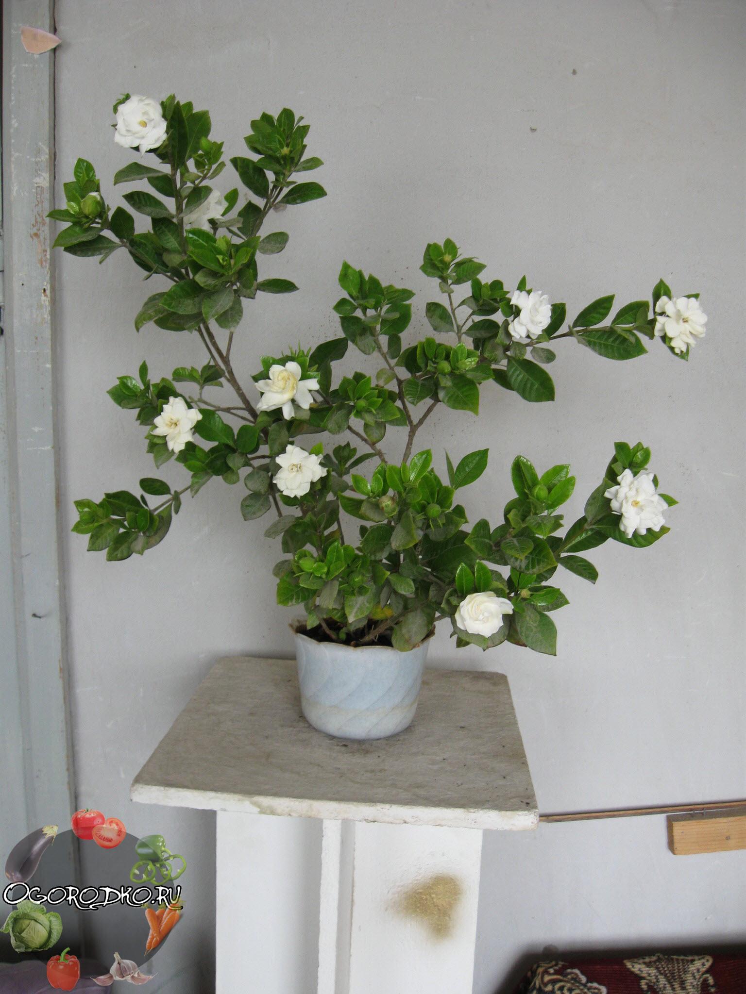 цветок гардения на фото