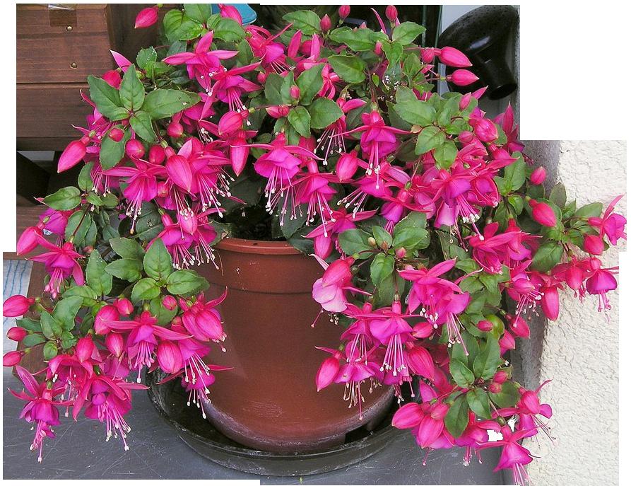 Фуксия цветок