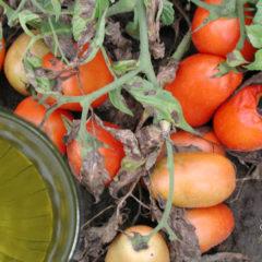 фурацилин от фитофторы на помидорах