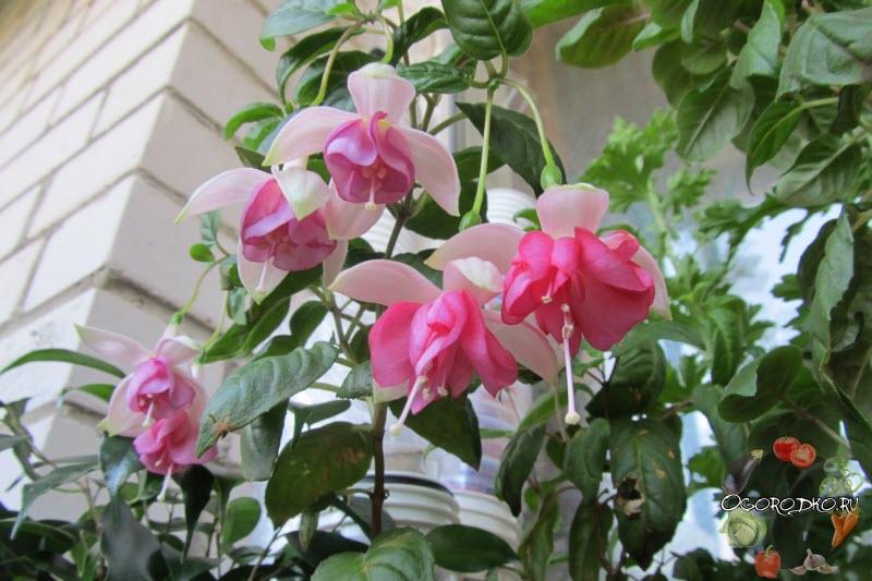 цветение фуксии