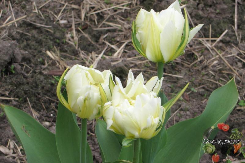 Тюльпан Экзотик Эмперор (Tulip Exotic Emperor)
