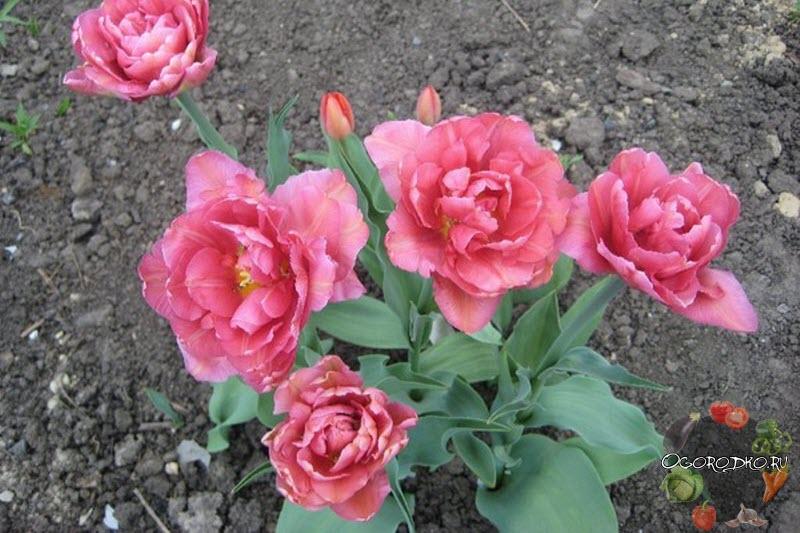 тюльпан махровый маргарита
