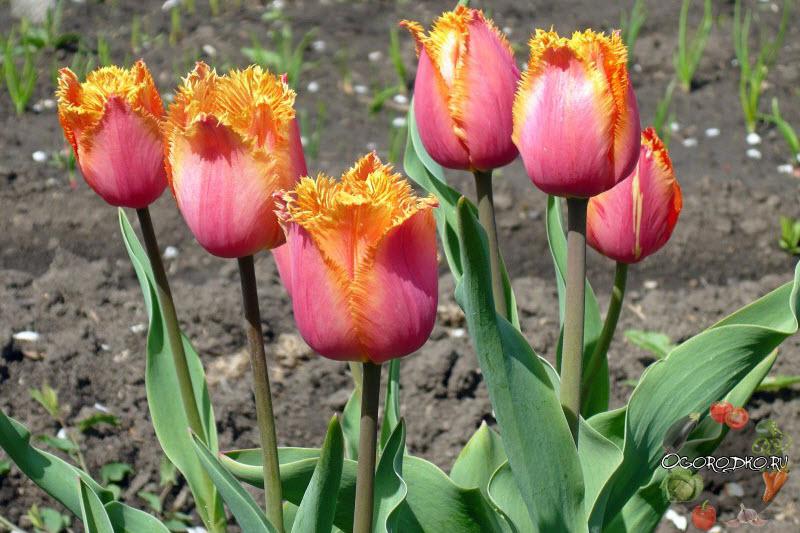 тюльпан сорт Ламбада
