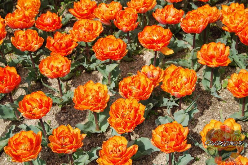 тюльпан сорт Оранж Принцесс (Orange Princess)