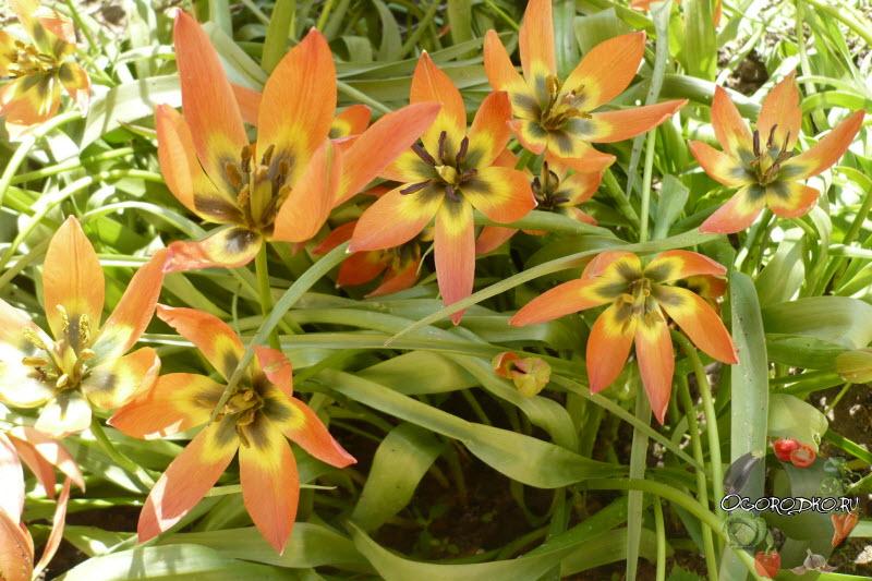 тюльпаны сорт Литл принцесс