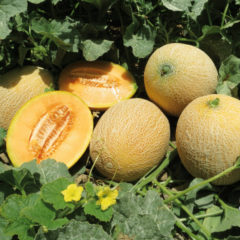 Как выращивать дыни в открытом грунте