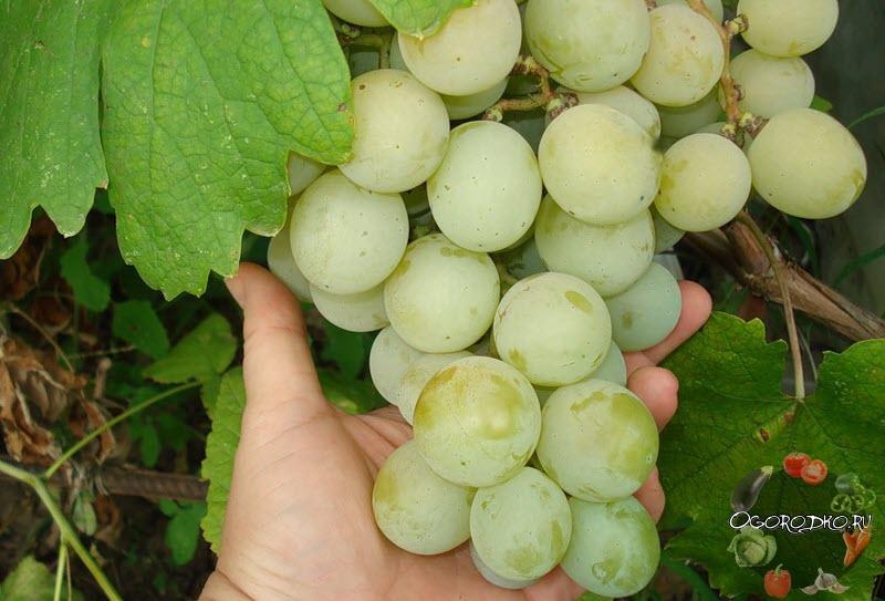 размер винограда сорта Кеша