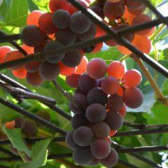 виноград Лидия – описание сорта, фото, отзывы виноградарей