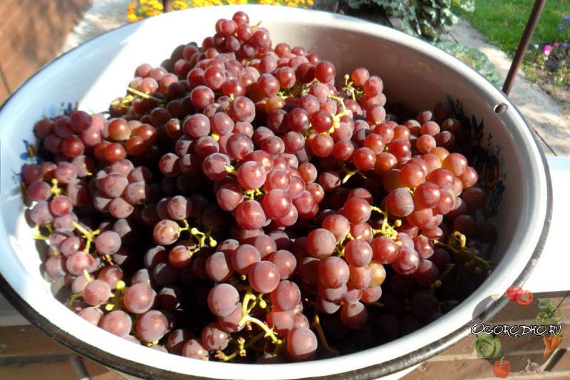 виноград сорт Лидия