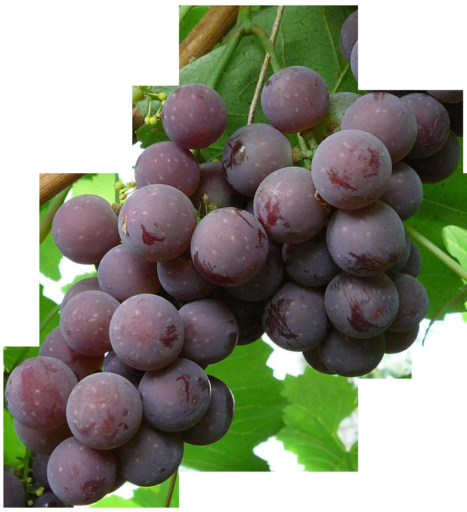 Особенности выращивания винограда сорта Лидия