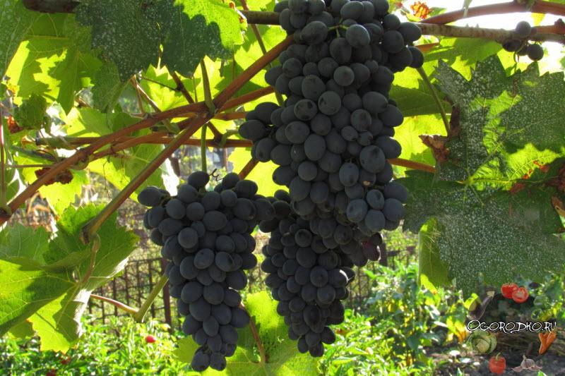виноград Молдова на фото