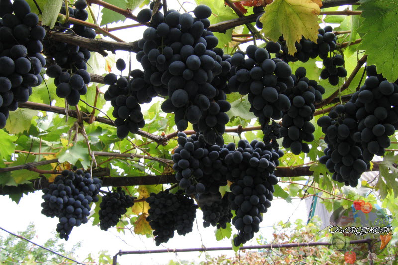 виноград молдова урожайность