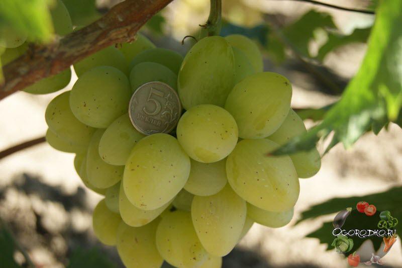 Виноград Монарх описание сорта с фотографиями
