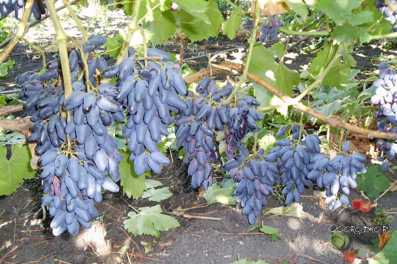 виноград одесский Сувенир