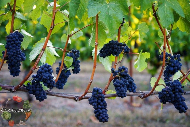 виноград сорта Пино