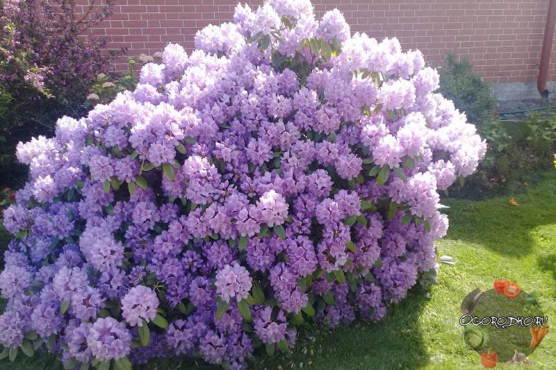 Почему не цветет рододендрон