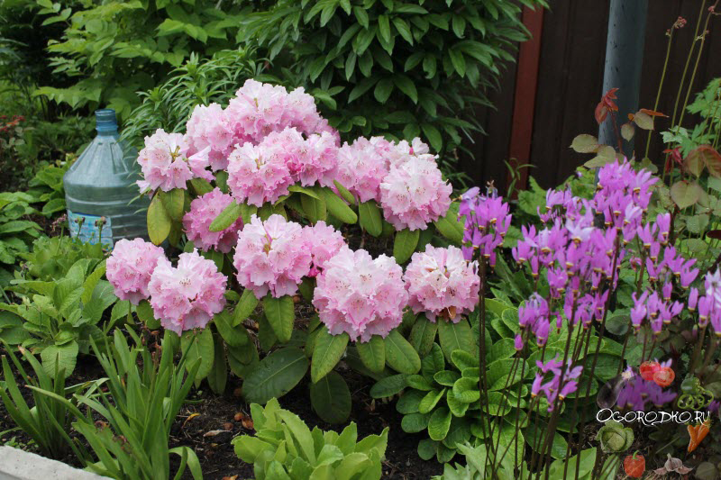 цветет рододендрон